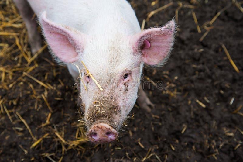 Domowe świnie na gospodarstwie rolnym obrazy royalty free