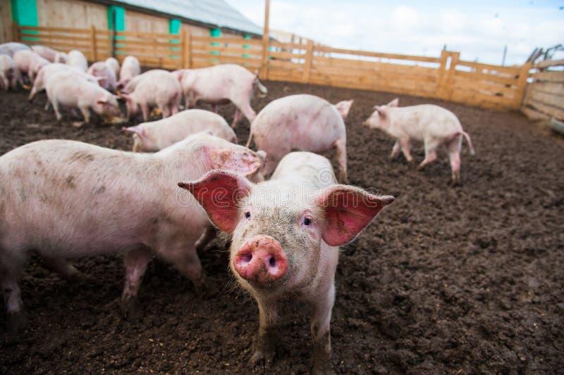 Domowe świnie na gospodarstwie rolnym zdjęcia royalty free