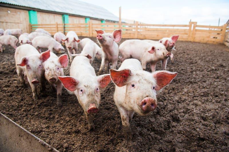 Domowe świnie na gospodarstwie rolnym obrazy stock
