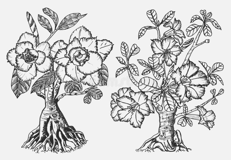 Domowe Adenium rośliny, kwiatonośne rośliny od Afryka i półwysep arabski, Egzotyczni i tropikalni elementy grawerująca ręka ilustracja wektor