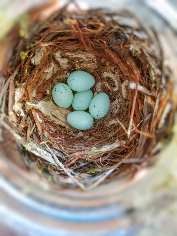 Domowego Finch jajka fotografia royalty free