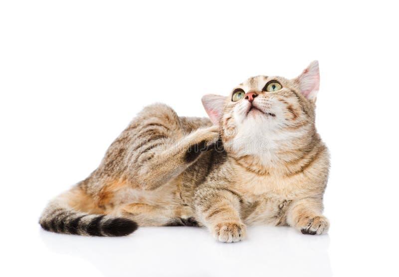 Domowego kota chrobot pojedynczy białe tło zdjęcia royalty free