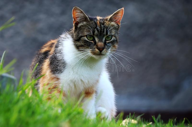 Domowego kota obsiadanie w trawie i patrzeć na ja dla niektóre powodu obrazy stock