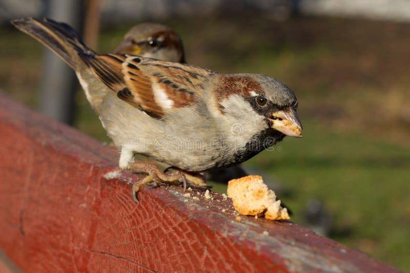 Domowego wróbla siedzieć outside Miastowi ptaki Chlebowy karmienie obrazy royalty free