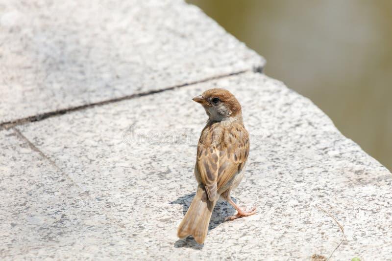 Domowego wr?bla ptak obraz stock