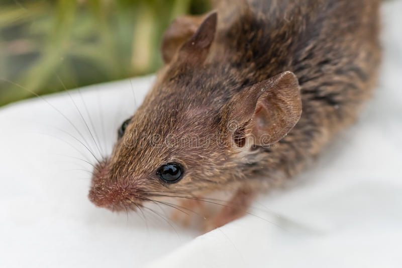 Domowej myszy Up zakończenie obrazy royalty free