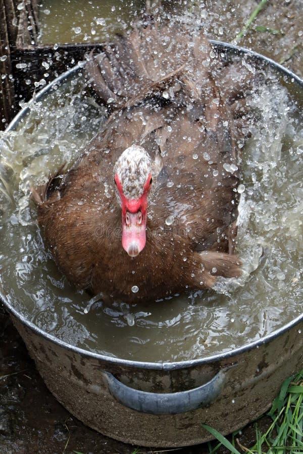 Domowej roboty kaczka kąpać w synklinie obrazy royalty free