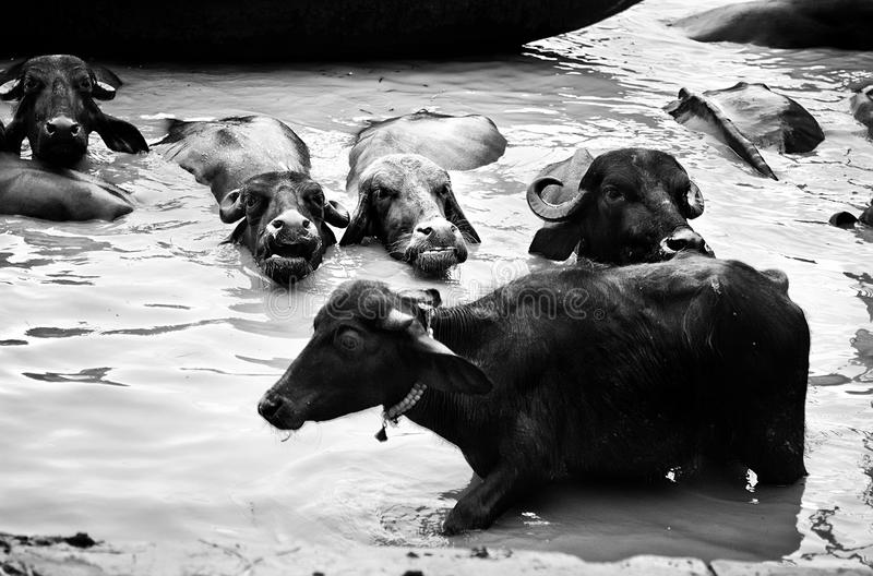 Domowi bizony chują w rzece obraz stock