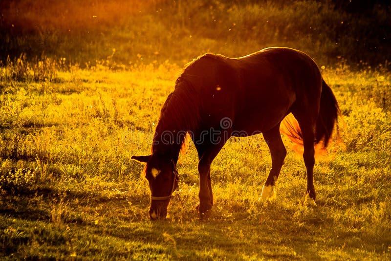 Domowi konie na paśniku przy zmierzchem obrazy royalty free