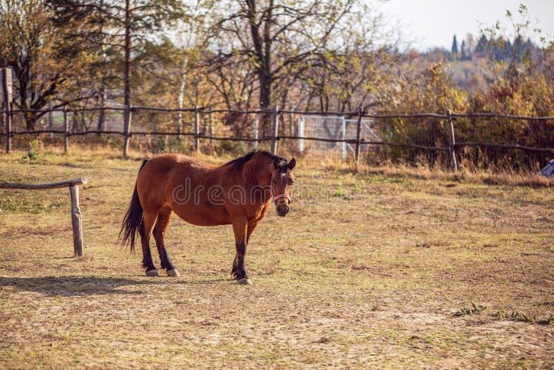 Domowi konie - portret Piękni brązów konie na gospodarstwie rolnym zdjęcie stock