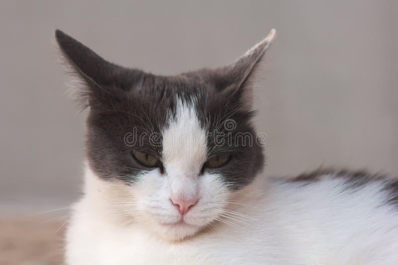 Domowy cat obrazy stock
