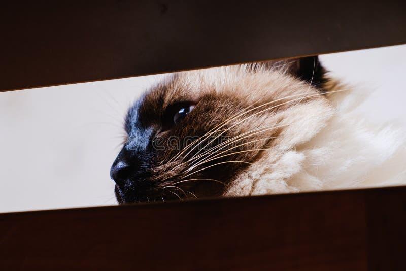 Domowy futerkowego zwierz?cia kota balijczyk ciekawy chować podglądanie zdjęcia royalty free