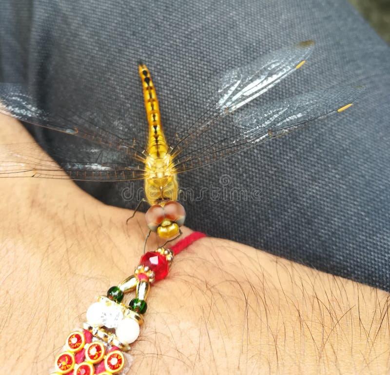 Domowy komarnicy dragonfly obrazy stock