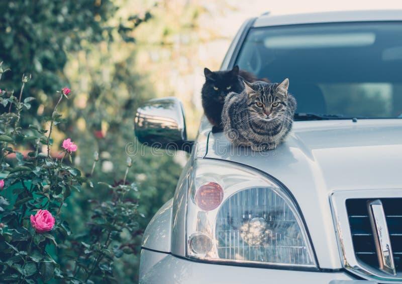 Domowy kot na kapiszonie samochód pampered zwierzęta domowe zdjęcia royalty free