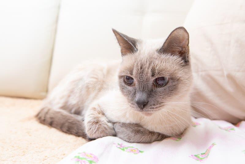 Domowy kot na leżance obraz royalty free