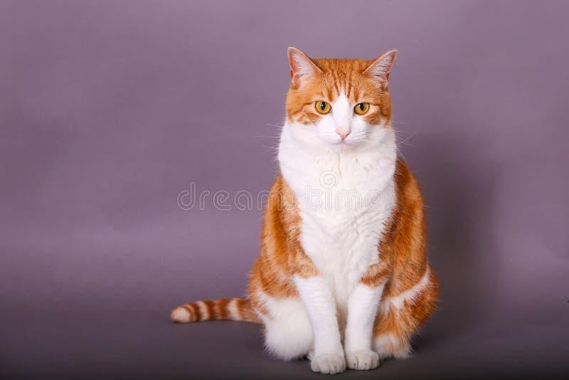 Domowy kot siedzi szerokiego przyglądającego się zadowolonego pracownianego portret zdjęcia royalty free