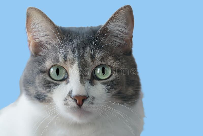 Domowy kot z dużym i rodzajem ono przygląda się na błękitnym tle obrazy royalty free