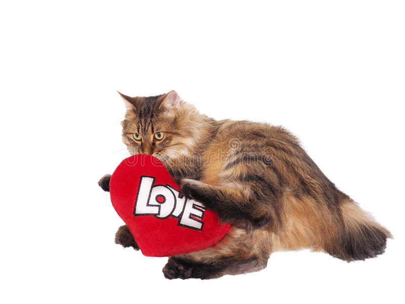 Domowy kot z miękkim czerwonym sercem Valentin temat fotografia stock