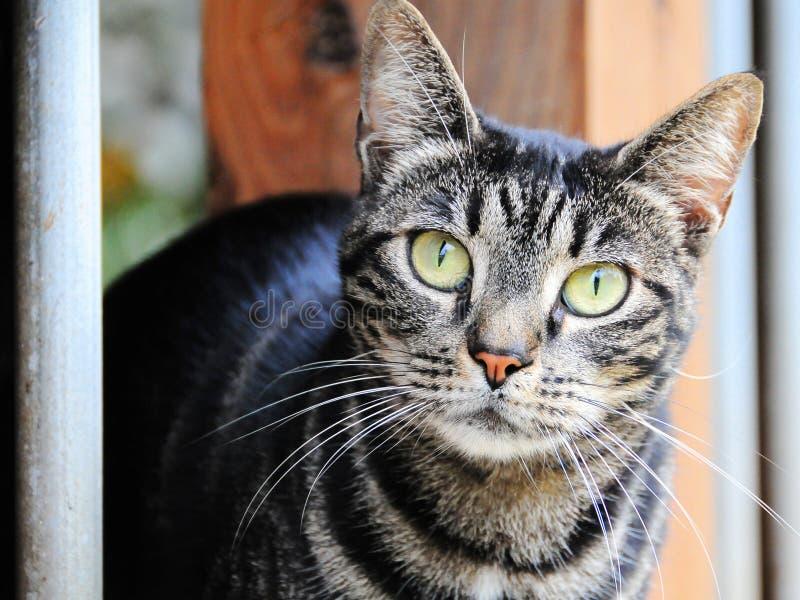 domowy kota portret obraz royalty free
