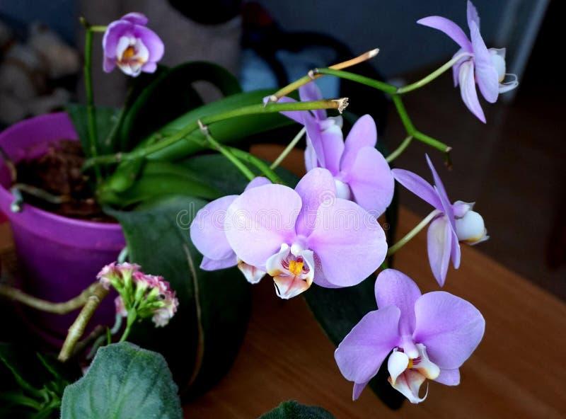 Domowy kwiat: kwitnący storczykowy phalaenopsis menchii kolor obrazy royalty free