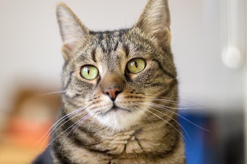 Domowy marmurowy kota portret, kontakt wzrokowy, śliczna kiciuni twarz obrazy royalty free