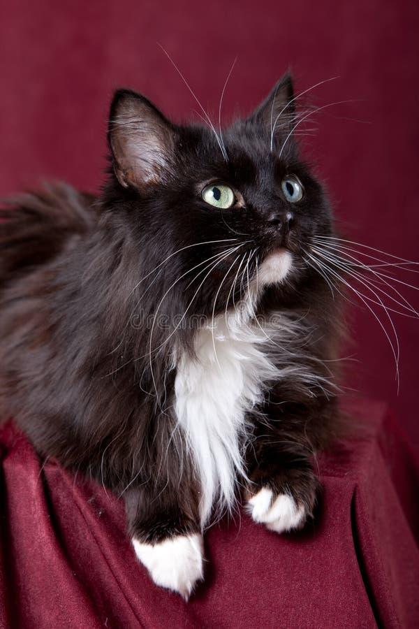 domowy piękny kot obrazy stock