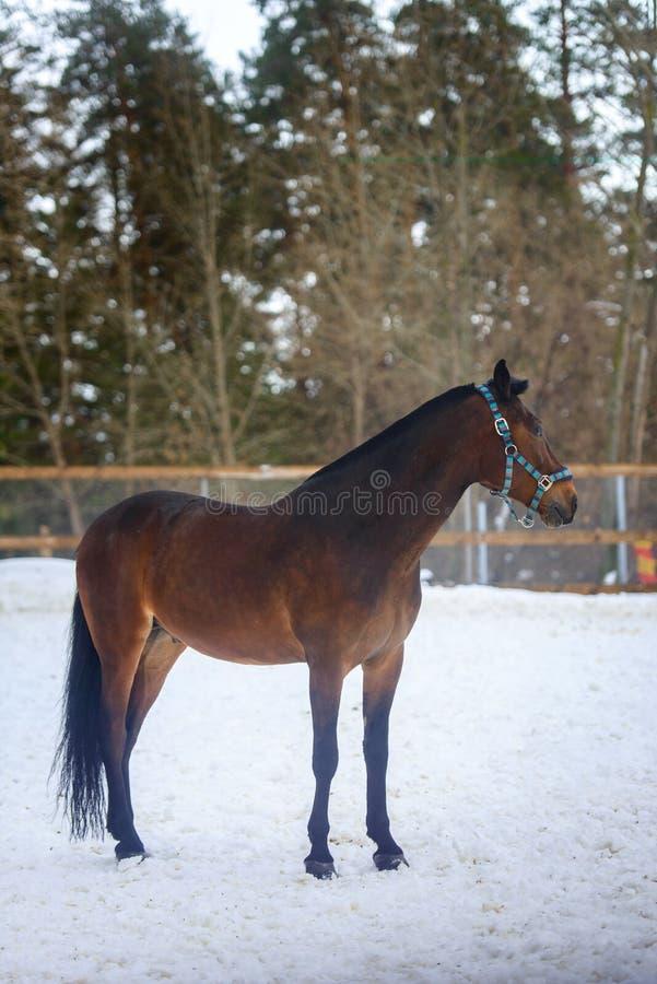 Domowy podpalanego konia odprowadzenie w śnieżnym padoku w zimie fotografia stock