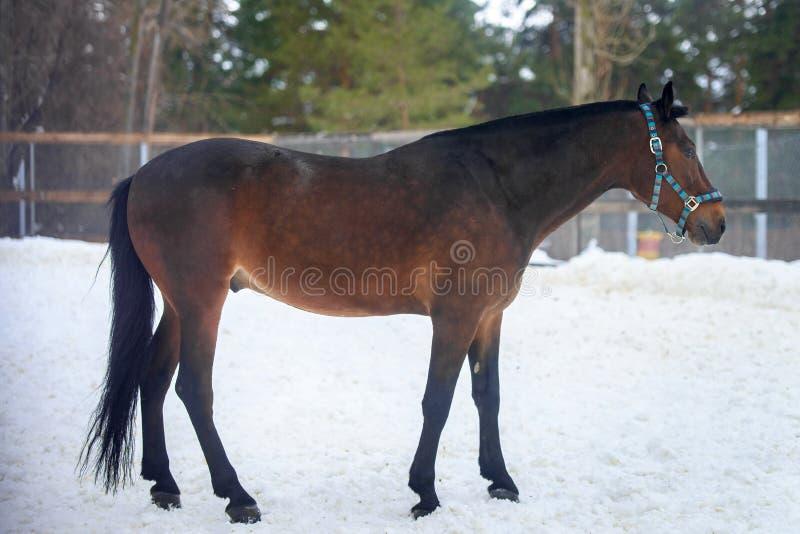 Domowy podpalanego konia odprowadzenie w śnieżnym padoku w zimie obrazy royalty free