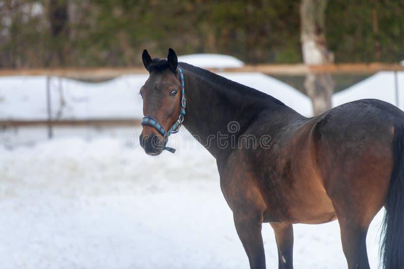 Domowy podpalanego konia odprowadzenie w śnieżnym padoku w zimie obraz stock