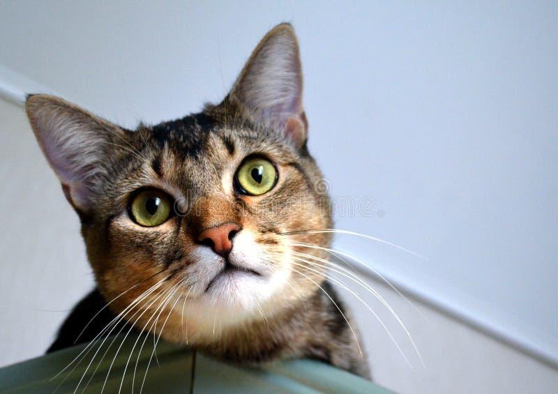 Domowy portret piękny kot obraz royalty free