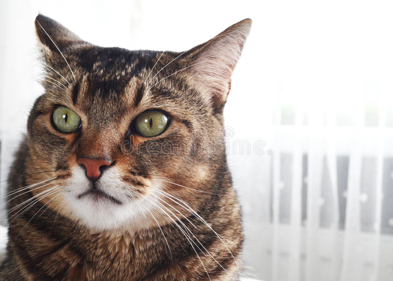 Domowy portret piękny kot obrazy stock