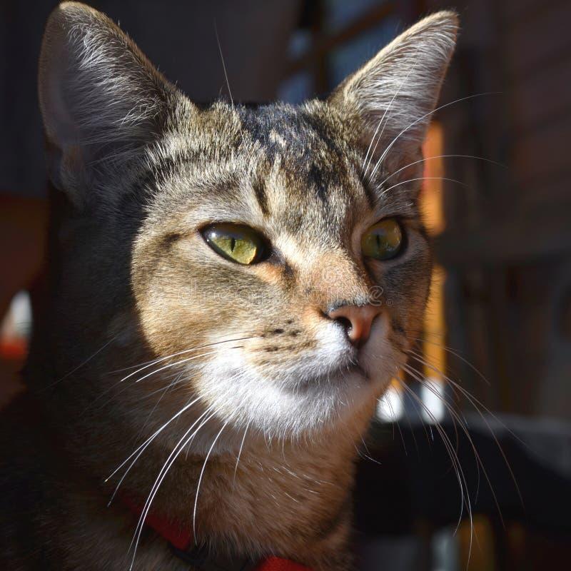 Domowy portret piękny kot zdjęcia royalty free