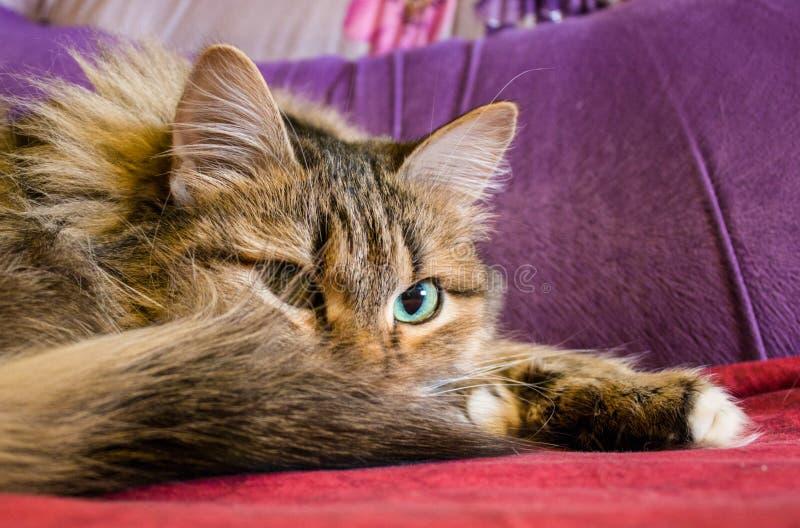 Domowy, puszysty kostiumu kot, kłama rozciąganie nogi obraz royalty free