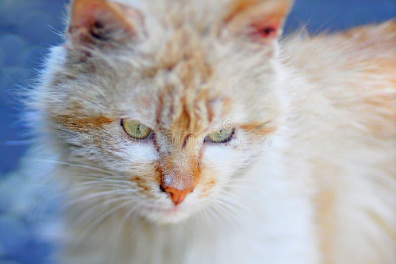Domowy puszysty kot wygrzewa się w słońcu, zbliżenie strzał zdjęcie royalty free