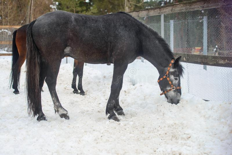Domowy szary koński odprowadzenie w śnieżnym padoku w zimie obrazy stock