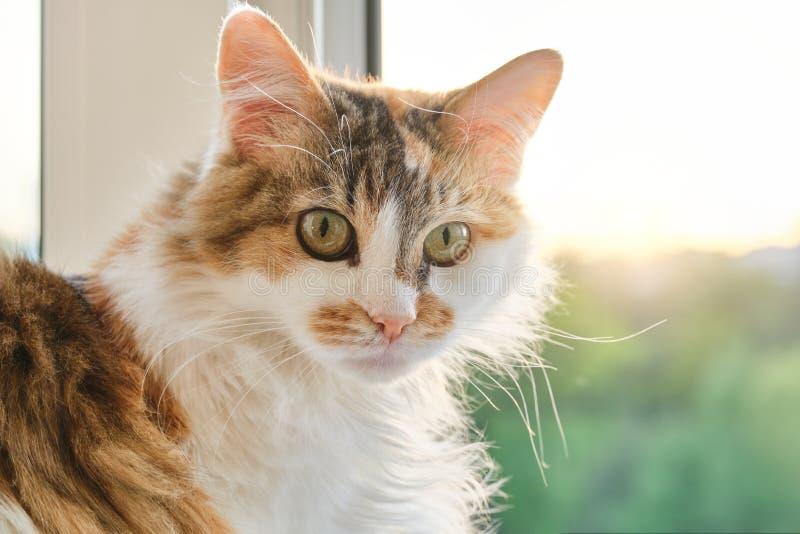 Domowy tricolor kota obsiadanie blisko okno w pokoju, patrzeje zaskakujący fotografia royalty free