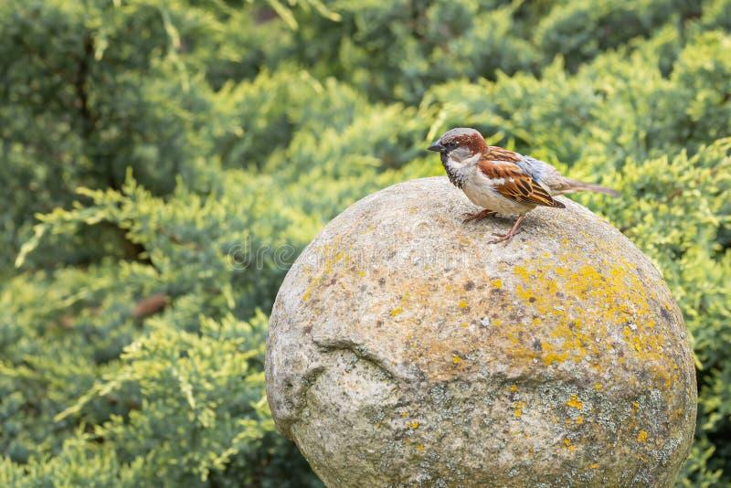 Domowy wróbel na kamiennym jajku zdjęcie stock