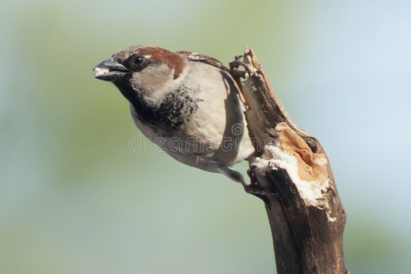 Domowy wróbel (samiec) zdjęcia stock