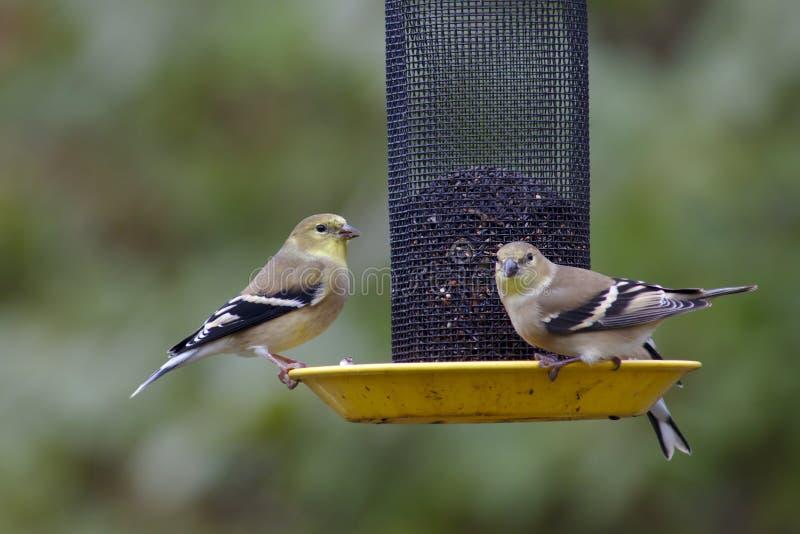 Dompfaffe auf einer Vogelzufuhr stockfotos