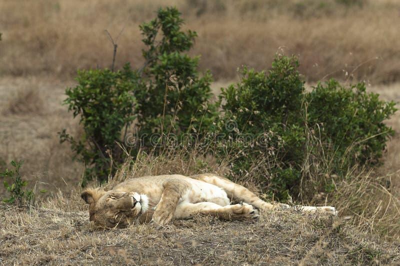 Don't苏醒睡觉雌狮 免版税图库摄影