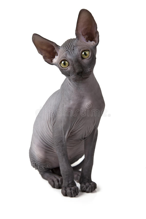 Don Sphinx kitten over white. Two months old hairless Don Sphinx kitten isolated on white background stock photos