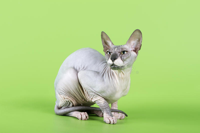 Download Don Sphinx Royalty Free Stock Photos - Image: 35042458
