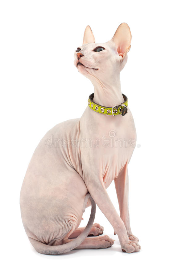 Free Don Sphynx Royalty Free Stock Image - 19192516