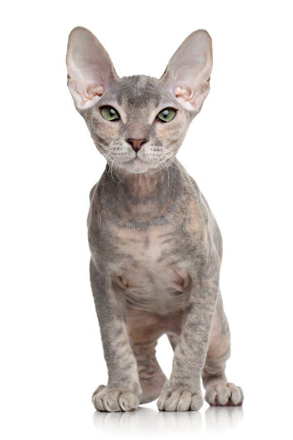 Don Sphynx-katje stock afbeelding