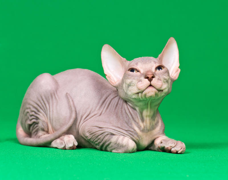 Download Don sphynx kitten stock image. Image of naked, animal - 26149647