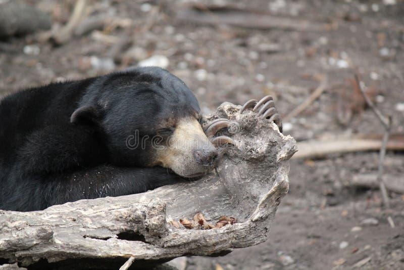 Don& x27; t Budzi się Sypialnego niedźwiedzia zdjęcie stock