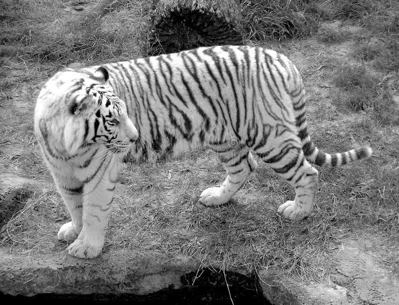 White Tiger. An endangered White Tiger looking (right) over his shoulder in black and white stock photo