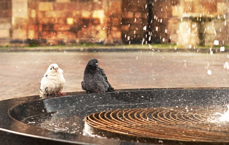 Don`t touch me until you will be washed enough!. Rainy situation, a delightful performance of male pigeon courting a female under the city fountain shower royalty free stock photos