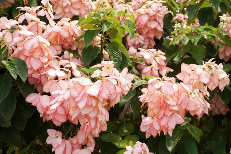 Dona Queen Sirikit Flower foto de stock royalty free
