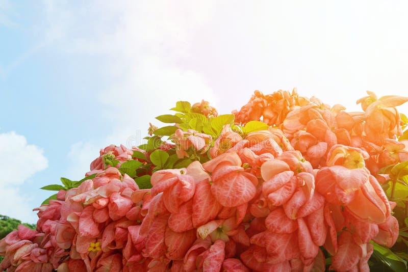 Dona Queen Sirikit Flower cor-de-rosa no fundo do céu azul e da luz solar no jardim fotografia de stock royalty free